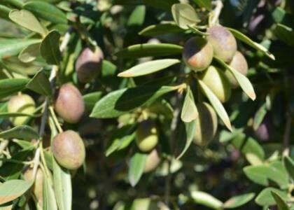 Aceituna Picudo
